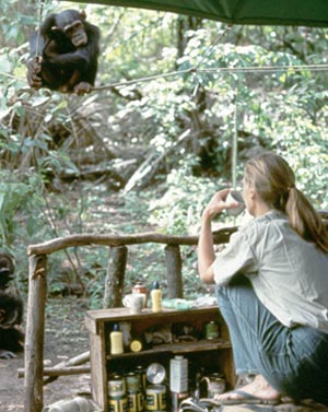 Researching Chimpanzees